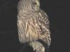 jacks-owl